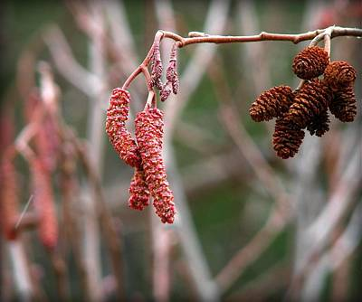 Photograph - Catkins And Nutlets by Leah Grunzke