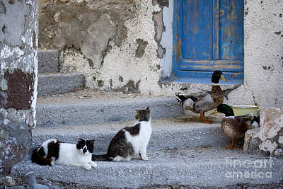 Domestic Duck Photograph - Cats And Ducks In Greece by Jean-Louis Klein & Marie-Luce Hubert