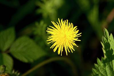Thomas Kinkade Rights Managed Images - Catsear flower. Royalty-Free Image by Elena Perelman
