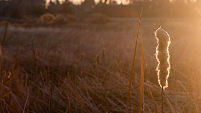 Photograph - Cattail At Sunrise by Monte Stevens