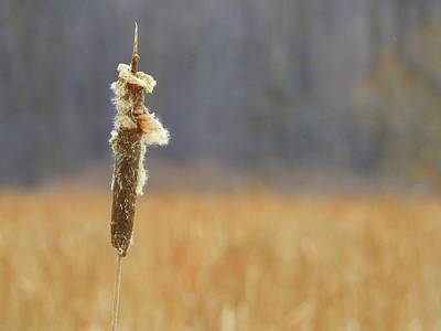 Photograph - Cattail In Winter by Betty-Anne McDonald