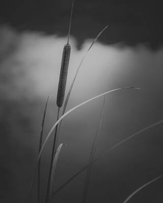 Verde River Photograph - Cattail by Joseph Smith