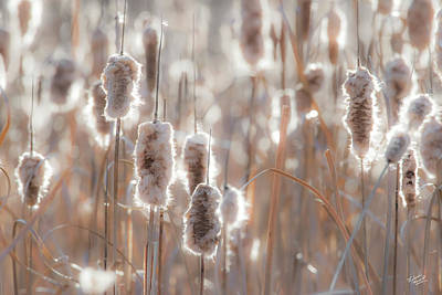 Photograph - Cattail Light 1 by Leland D Howard