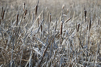 Photograph - Cattails by Carol Groenen