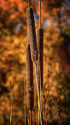 Photograph - Cattails In Autumn by Susan Rissi Tregoning