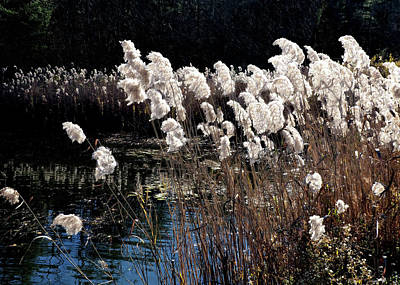 Photograph - Cattails by Jim Hill