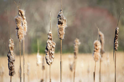 Photograph - Cattails - by Julie Weber