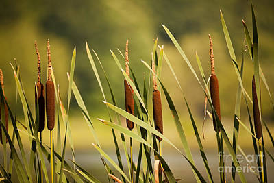 Photograph - Cattails by Sharon Dominick