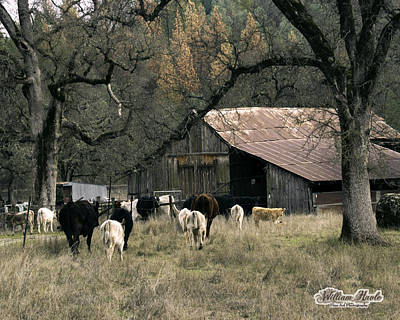 Photograph - Cattle At Mccourtney Barn by William Havle