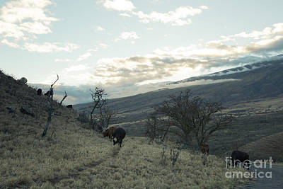 Photograph - Cattle Browsing At Sunset Kaupo Maui Hawaii by Sharon Mau