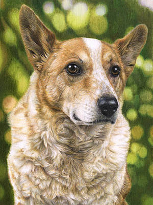 Cattle Dog Drawing - Cattle Dog Portrait by Karen Broemmelsick