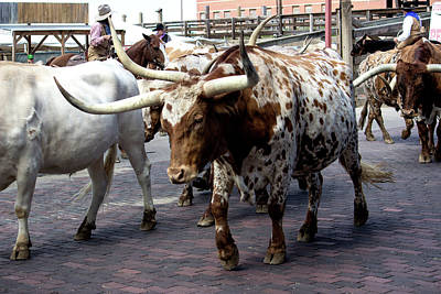 Photograph - Texas Longhorn Cattle by Roberta Byram
