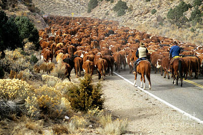 Cattle Drive Photograph - Cattle Drive by Inga Spence