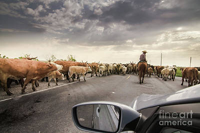 Photograph - Cattle Drive by Robert Frederick