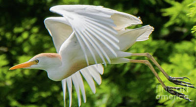 Photograph - Cattle Egret Arched Wings by Vincent Billotto