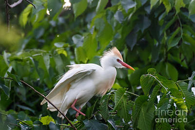 Cattle Egret At Rest Art Print