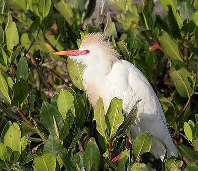 Photograph - Cattle Egret, Breeding Colors by Richard Goldman