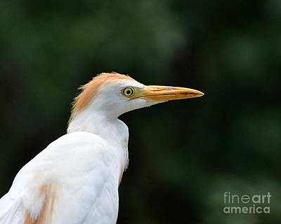Cattle Egret Close-up Art Print by Al Powell Photography USA