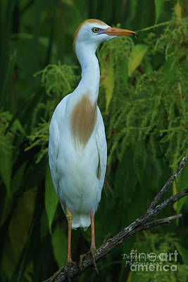 Photograph - Cattle Egret by Deborah Benoit