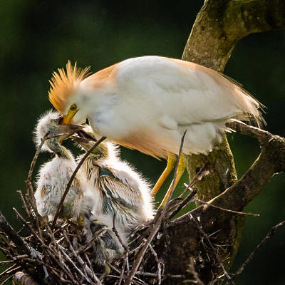 Photograph - Cattle Egret Feeding Babies by Gregory Daley  PPSA