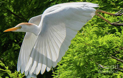Photograph - Cattle Egret Gliding by Vincent Billotto