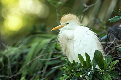 Photograph - Cattle Egret by Gregg Southard