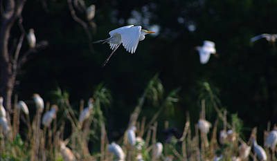 Photograph - Cattle Egret In Flight And Black Background by Roy Williams