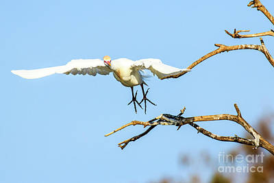 Photograph - Cattle Egret In Flight by Ben Graham