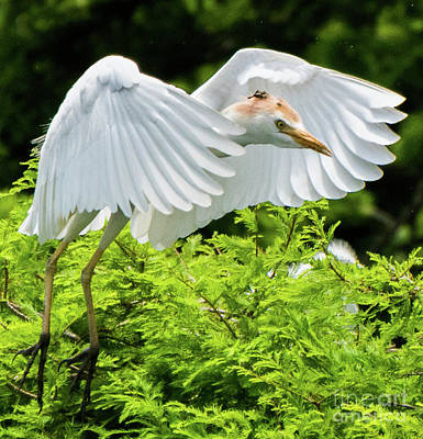 Photograph - Cattle Egret In Flight by Vincent Billotto