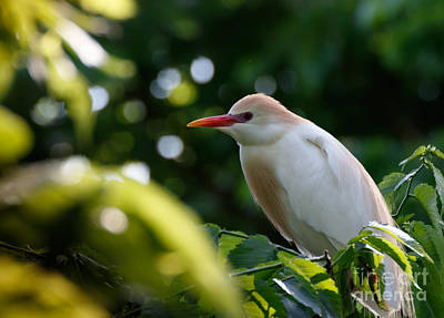 Cattle Egret In Oklahoma Art Print