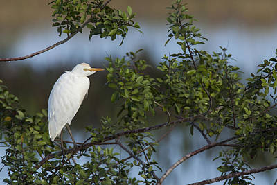 Cattle Egret In The Morning Light Art Print