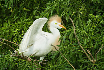 Photograph - Cattle Egret In Woodland by Fran Gallogly
