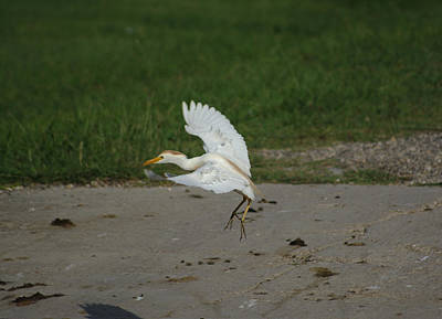 Photograph - Cattle Egret Landing On Concrete by Roy Williams