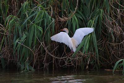 Photograph - Cattle Egret Landing On The South Of The Island - Digitalart by Roy Williams