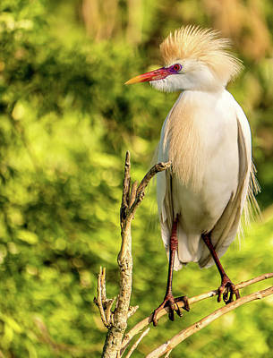 Photograph - Cattle Egret Lookout by Jane Luxton