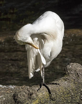 Photograph - Cattle Egret Preening by William Bitman
