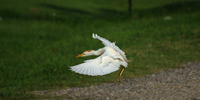 Photograph - Cattle Egret Preparing To Land by Roy Williams