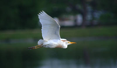 Photograph - Cattle Egret Profile Portrait In Flight by Roy Williams