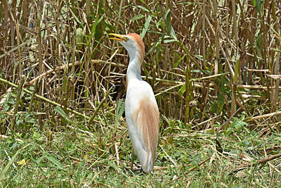 Photograph - Cattle Egret by Robert Brown