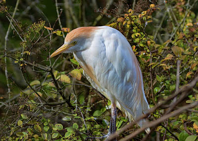 Photograph - Cattle Egret by Ron Grafe