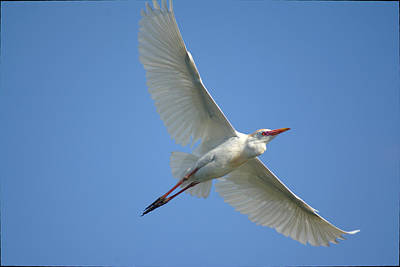 Photograph - Cattle Egret Soars Wings Wide Soaring by Roy Williams