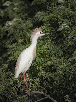 Photograph - Cattle Egret by Tyson and Kathy Smith