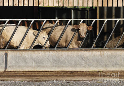 Cattle Photograph - Cattle Feeding In A Barn by Andy Smy