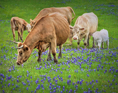 Photograph - Cattle Grazing In The Texas Bluebonnets by David and Carol Kelly