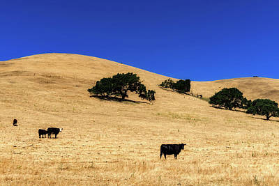 Photograph - Cattle Grazing On California Hillside  by L O C