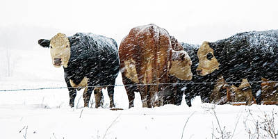 Photograph - Cattle Huddled Together In A Snowstorm by Randall Nyhof