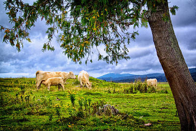 Photograph - Cattle In A New Brunswick Field by Carolyn Derstine