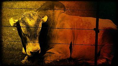 Photograph - Cattle In Sunny Texas by Marisela Mungia