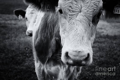 Photograph - Cattle On A Field In Autumn by Sabine Jacobs