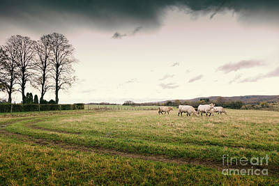 Photograph - Cattle On Field by Sophie McAulay
